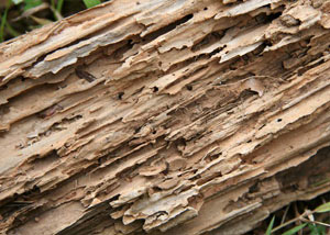 Termite-damaged wood showing rotting galleries outside of a Cedar Mountain home